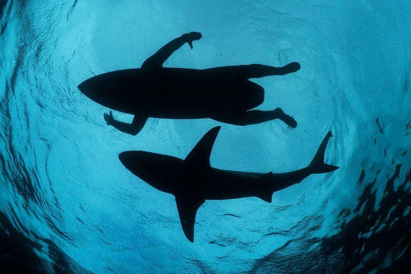 серфер плывет рядом с акулой