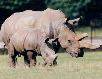 носорог поранил работника английского зоопарка