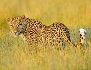 здоровый сильный леопард
