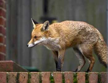 постельная атака лисы