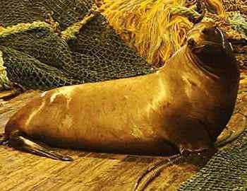 разъяренный морской лев на корабле