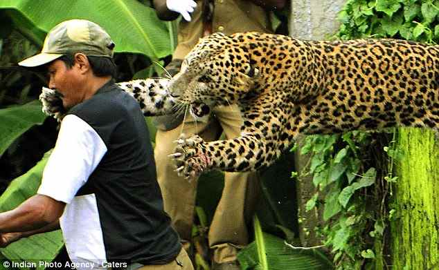 леопард разкрыл челюсти и когти перед своим нападением