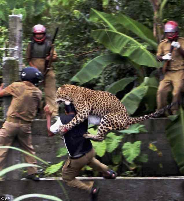 леопард на голове у человека