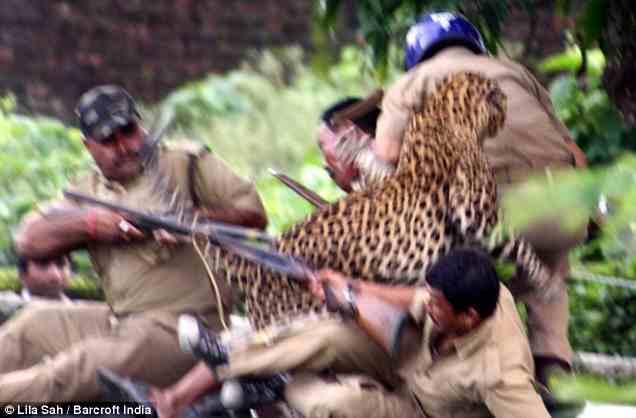 леопард сбивает одно мужчину