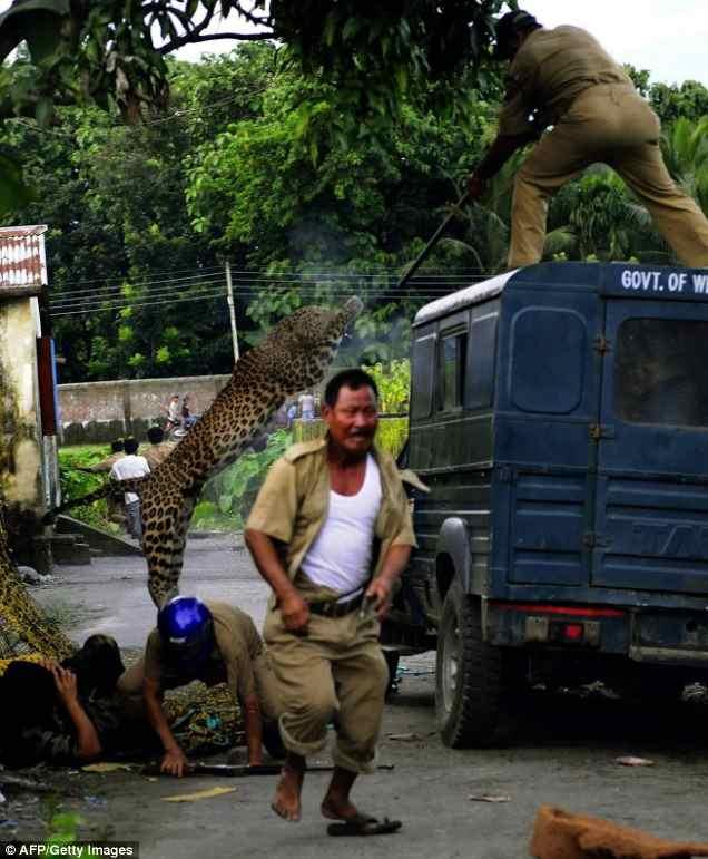 леопард не боится прыгнуть на человека