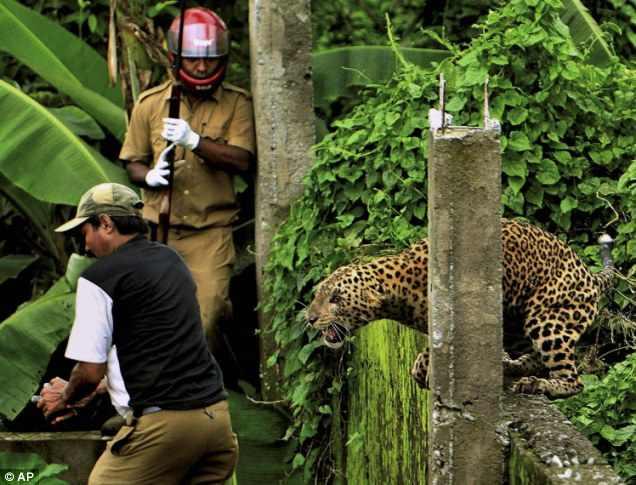 леопард не сдается и прыгает на человека