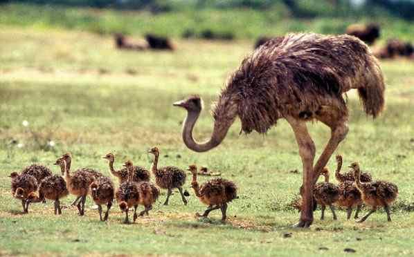 напал на человека африканский страус