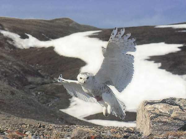 может ли белая сова напасть на человека