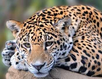 леопард делает мужчину инвалидом