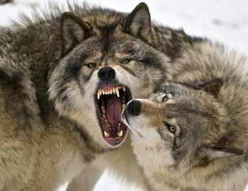 голодные волки нападают на всех