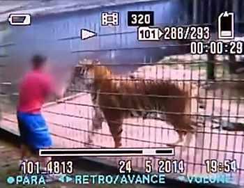 тигровое нападение на мальчика