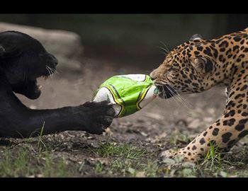 ягуар нападает на мальчика