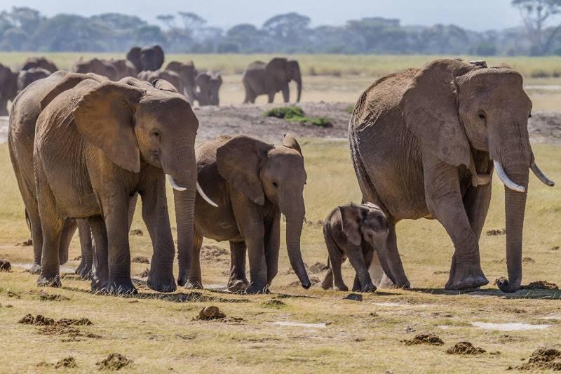 слоны социальные животные