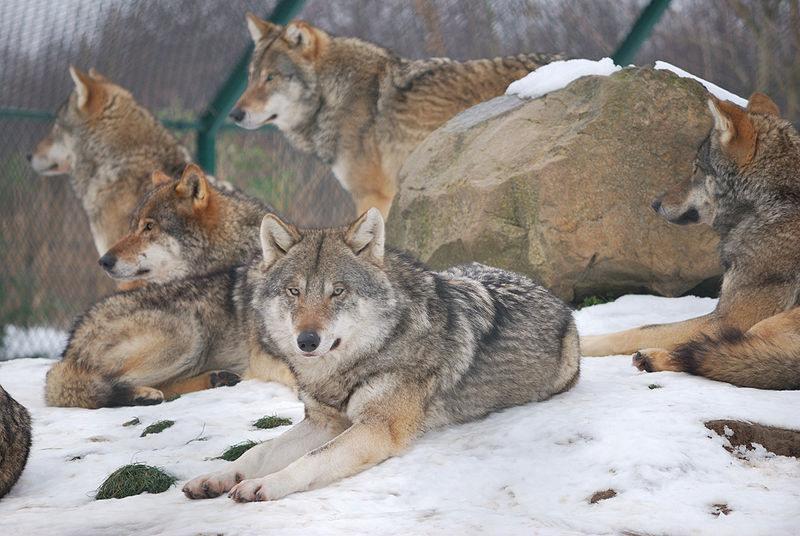 волки рискуют жизнью ради сородичей