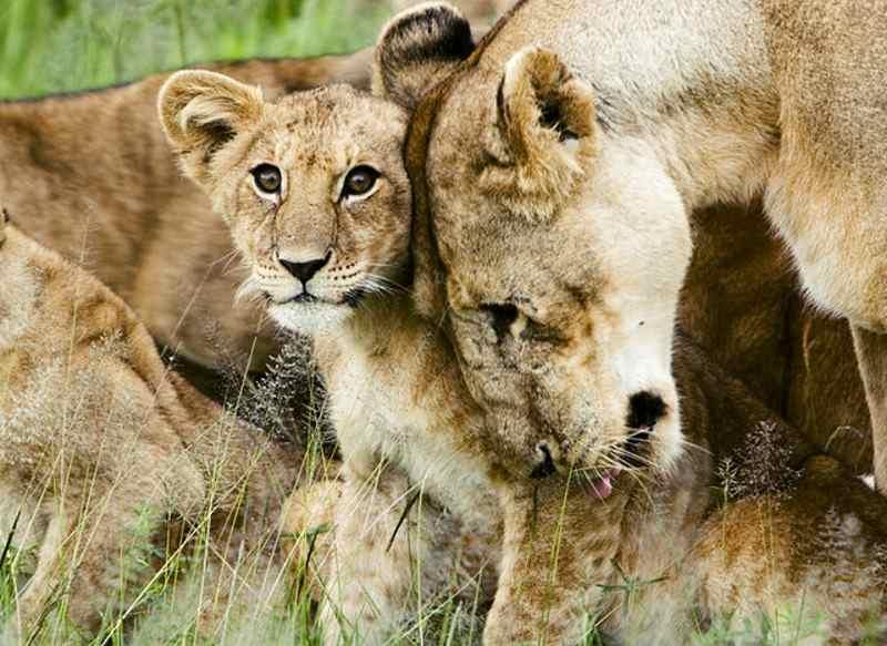 львы поддреживают друг друга