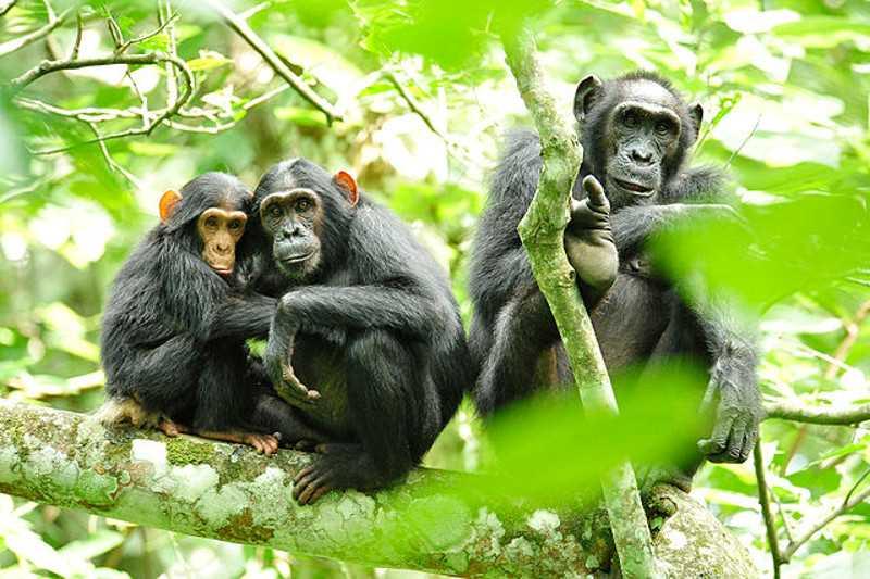 создаваемые семьи шимпанзе