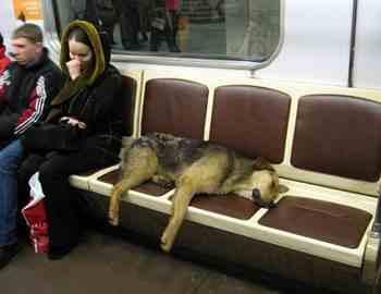 бездомная собака в метро