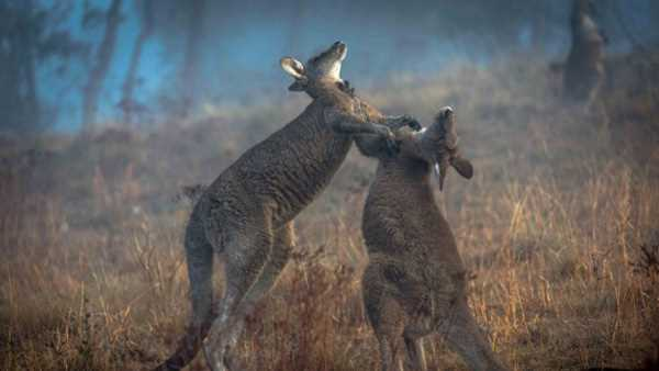 лягаются кенгуру