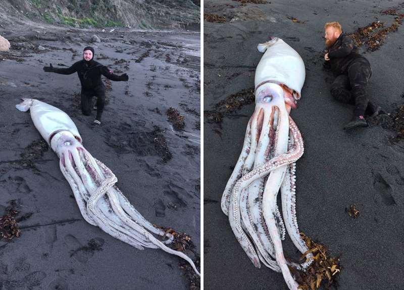 гигантский кальмар в Новой Зелнадии