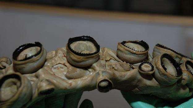 зазубренные присоски кальмаров