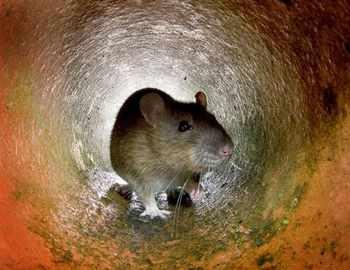 принюхивается крыса