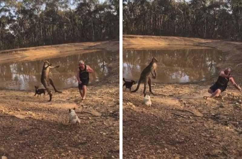 кенгуру ударил мужчину