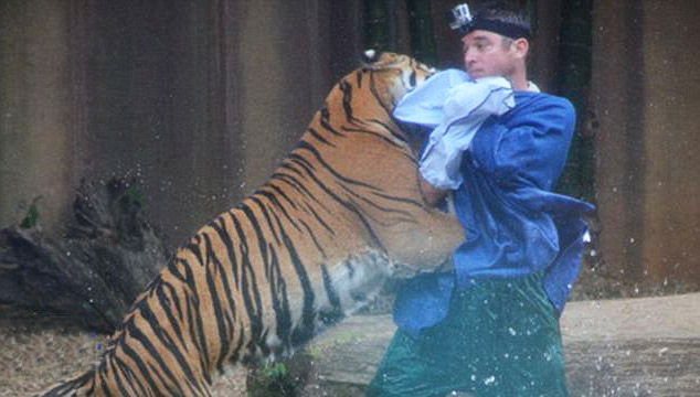 тигр тянется за своим дрессировщиком