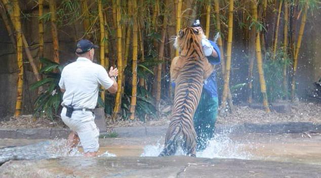 тигр стоит на задних лапах со Стили