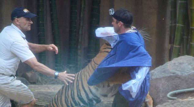 игривость тигра переросла в агрессию