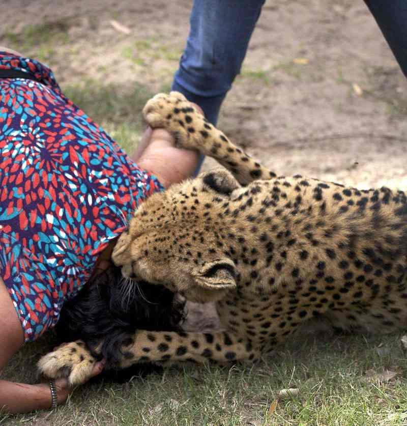голова женщины в зубах гепарда