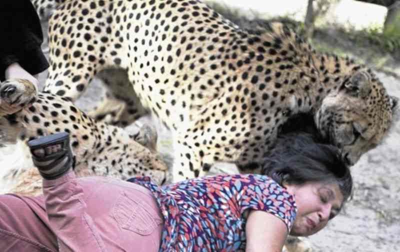 гепард укусил за скальп женщины