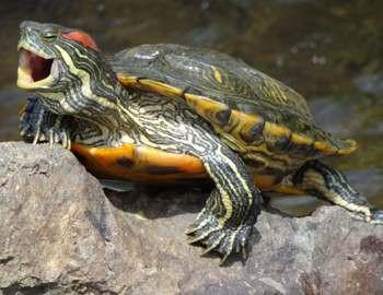 красноухая пресноводная черепаха