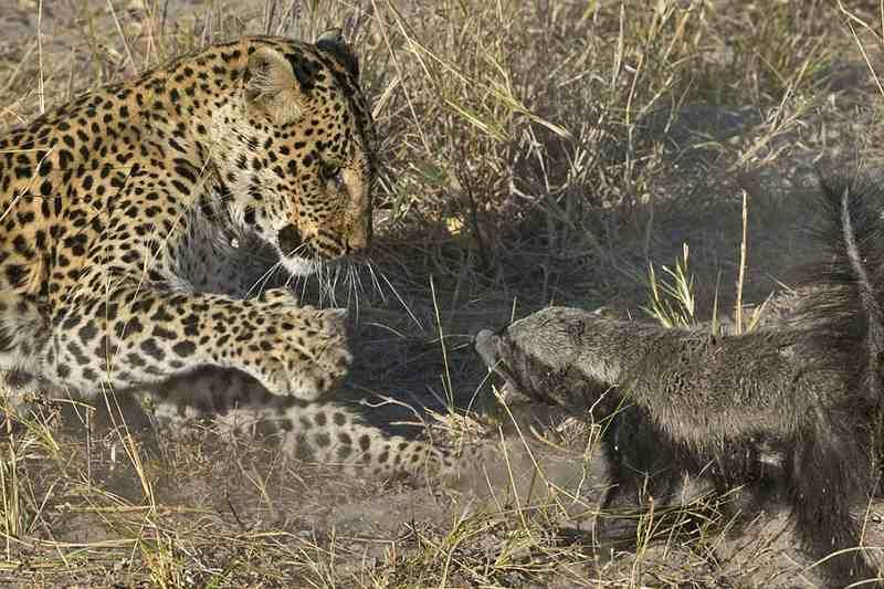 стычка между леопардом и медоедом