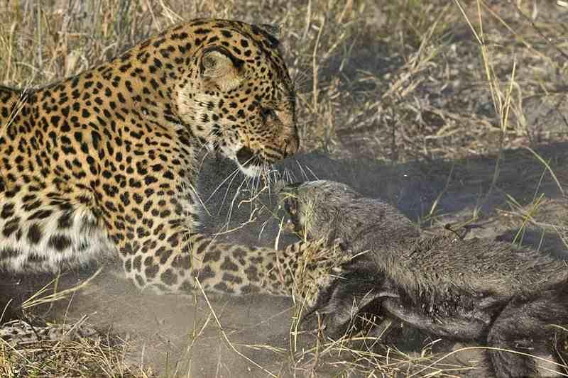 попытка леопарда съесть медоеда