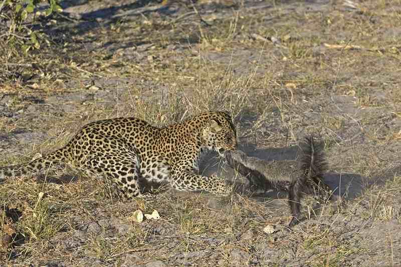 стычка леопарда