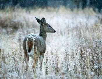 охотник пострадал от оленихи