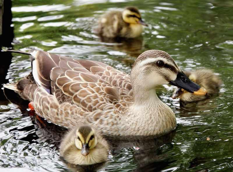 Дикая утка плавает в озере