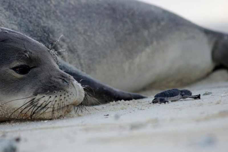 лежебока тюлень