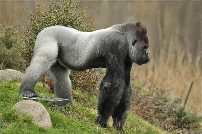 известная горилла