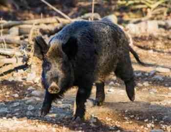пробегающая дикая свинья