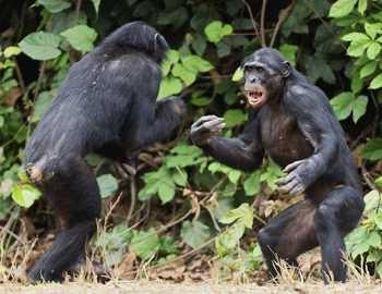 дерутся две обезьяны