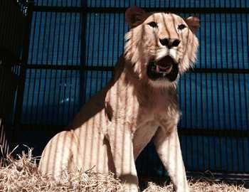 лев напавший на работника зоопарка