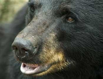 черный медведь присматривается
