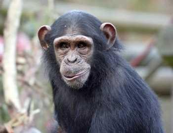 надменная обезьяна