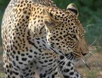 леопарду только что досталось