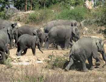 слоны на выпасе