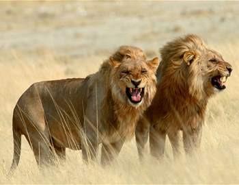 рачат два льва