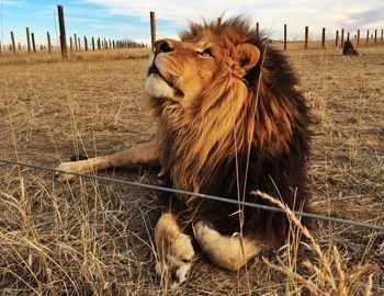 лев в неволе