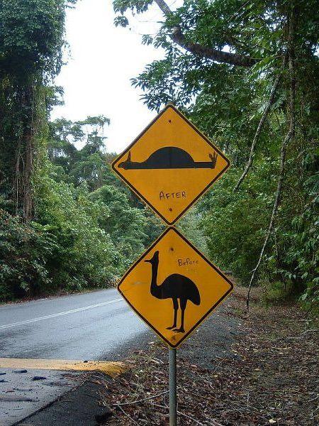 казуар на дороге