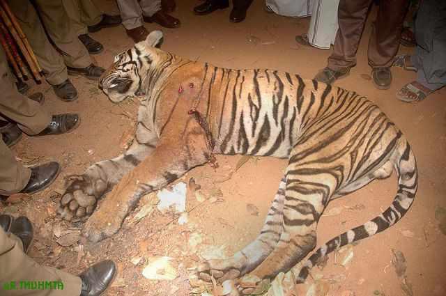 при ночном свете убитый тигр